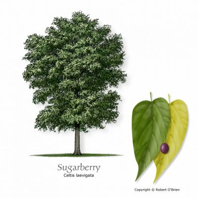 Learn_Past_Sugarberry_2009221